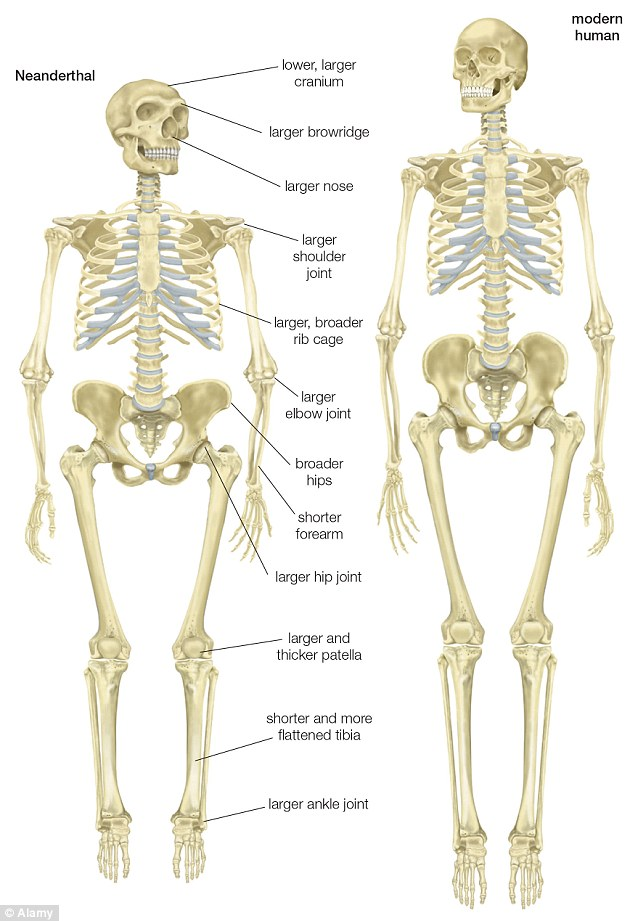 comparing skeletons neanderthal and cro-magnon