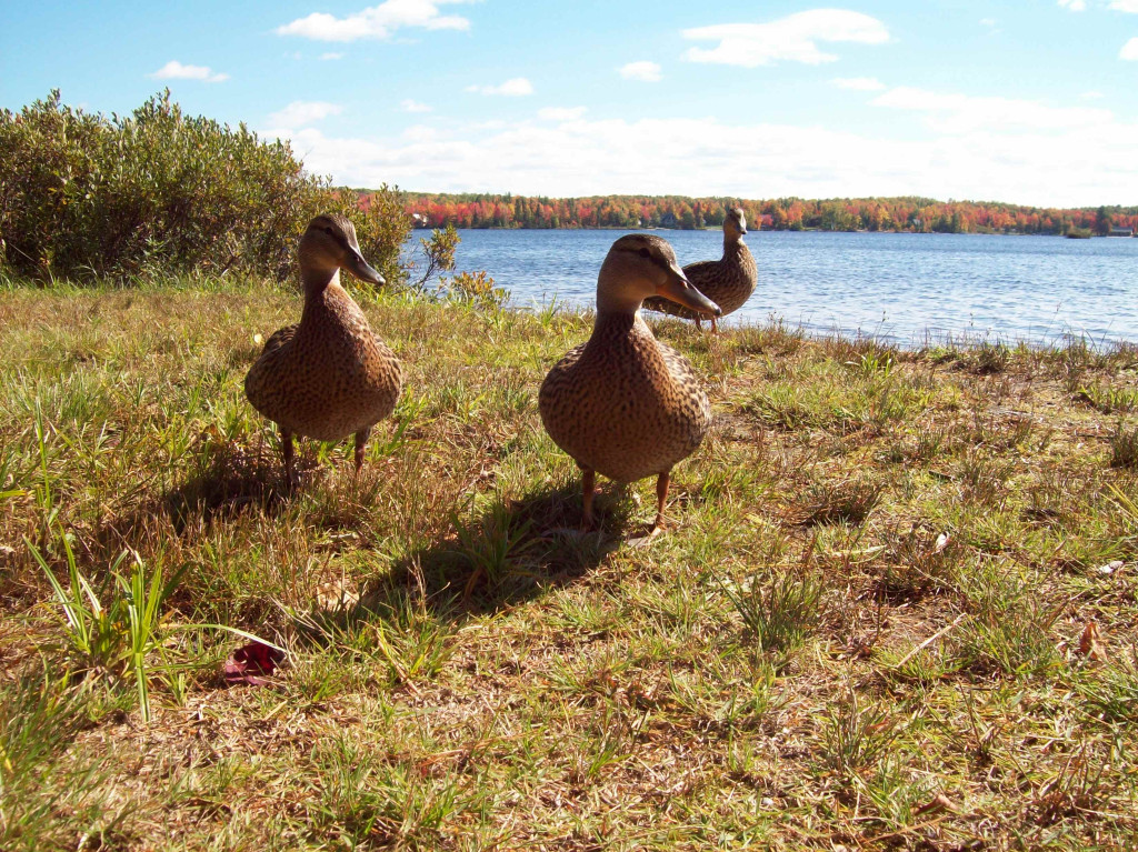 three-ducks-visit-twin-lakes-camping-ground-sept-22-2014-up-michigan