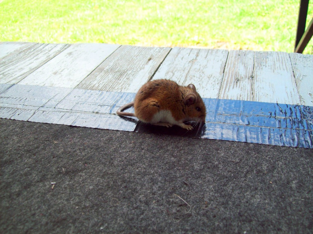 visitor-closeup-american-field-mouse-porch-681-canal-rd-apollo