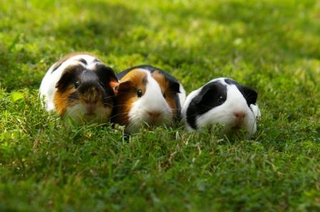 3-Guinea-Pigs