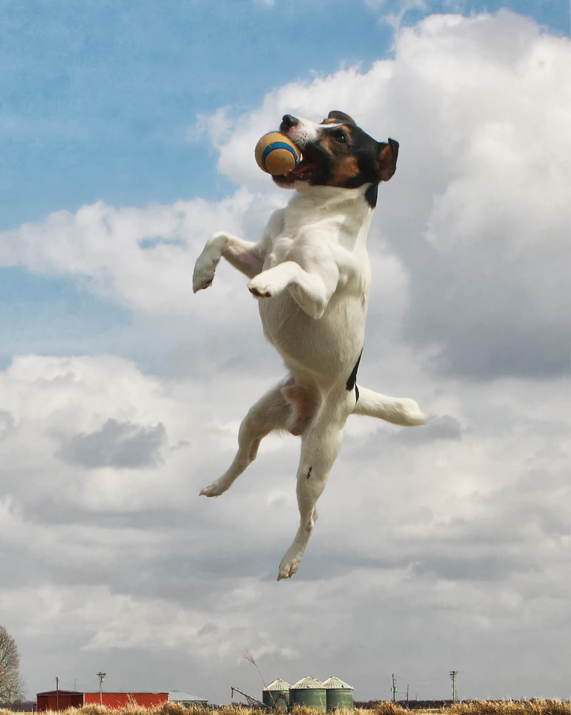 Jack_Russell_catching_ball
