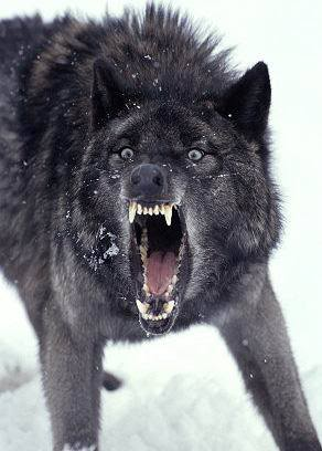 Wolf-Snarl