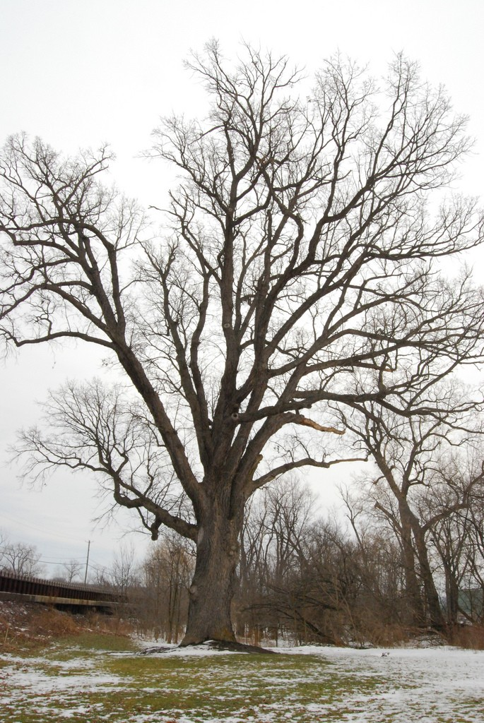 amerindian-torture-tree-cuylerville-ny