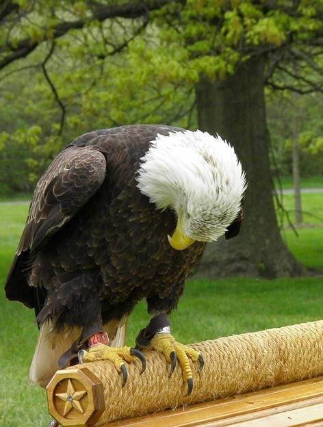 bald-eagle-head-bowed