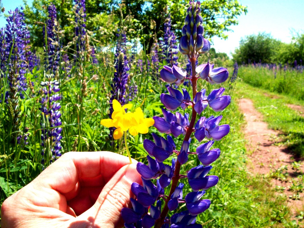 birdsfoot-lupine-field-road-ontonagon-up-mi