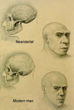 comparing-cranium-Cro magnon-to-neanderthal