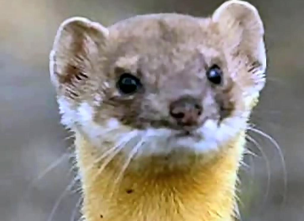 humanimals-weasel