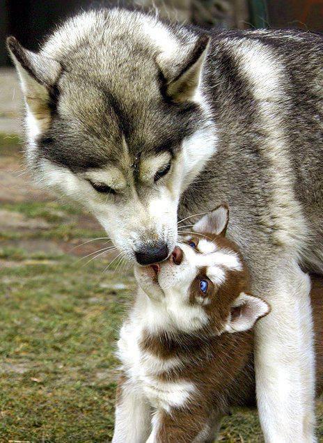 huskie-mother-pup