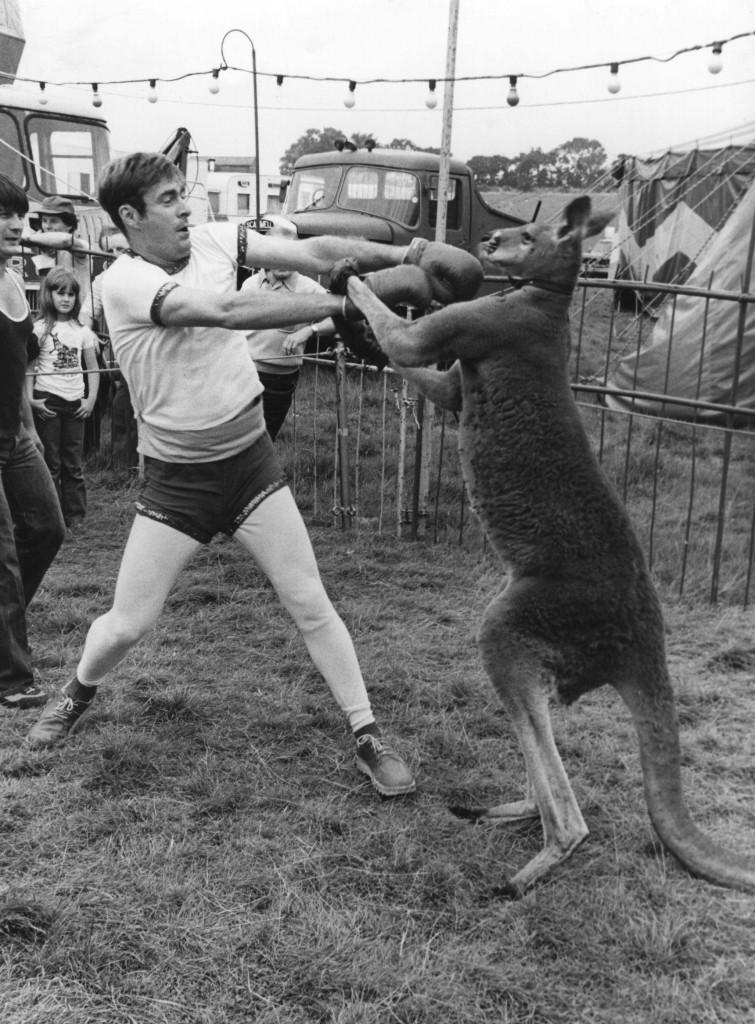 kangaroo-boxes-with-man