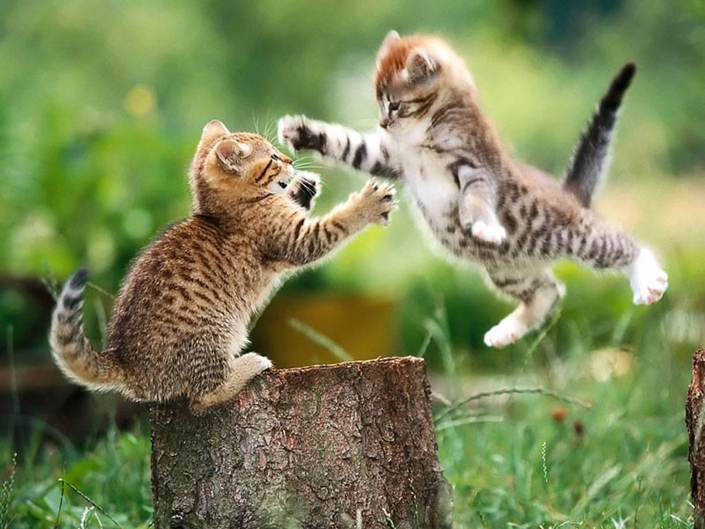 kombat-kittens