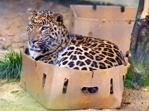 leopard-sitting-in-carton