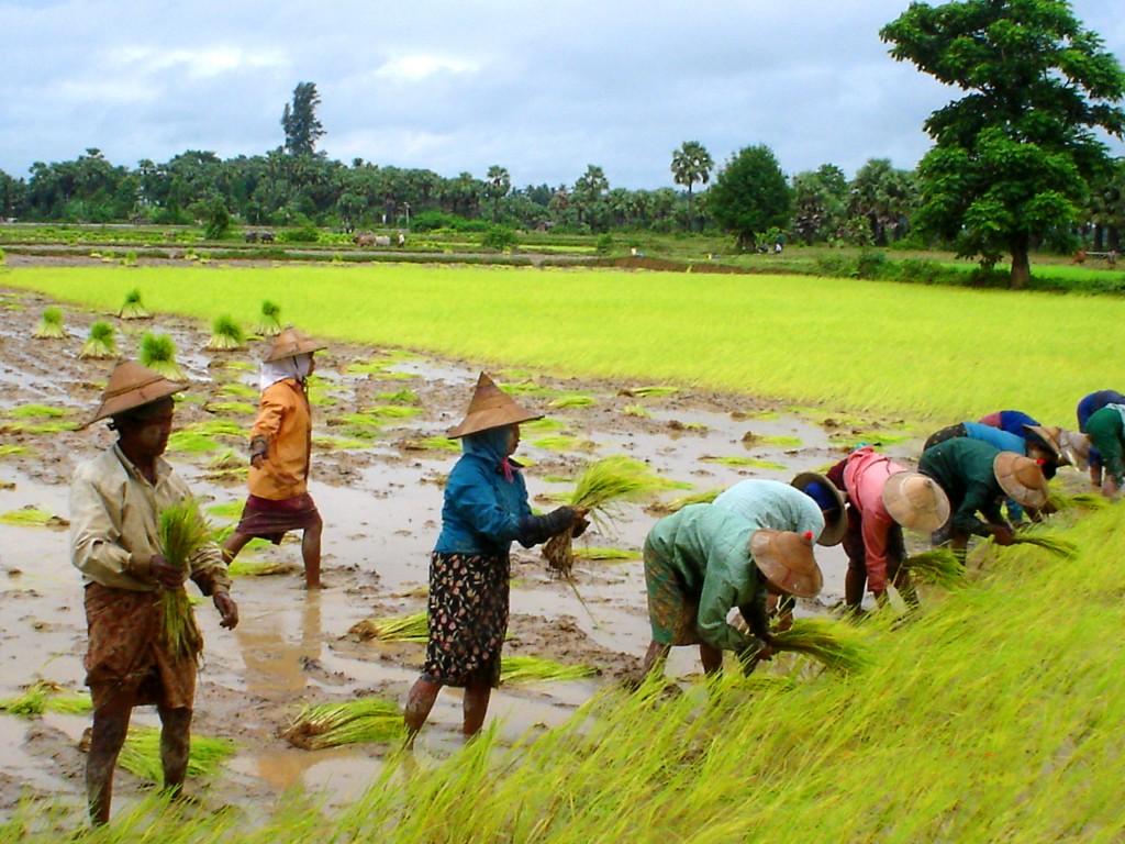 rice-paddy-burma-myanmar_2006