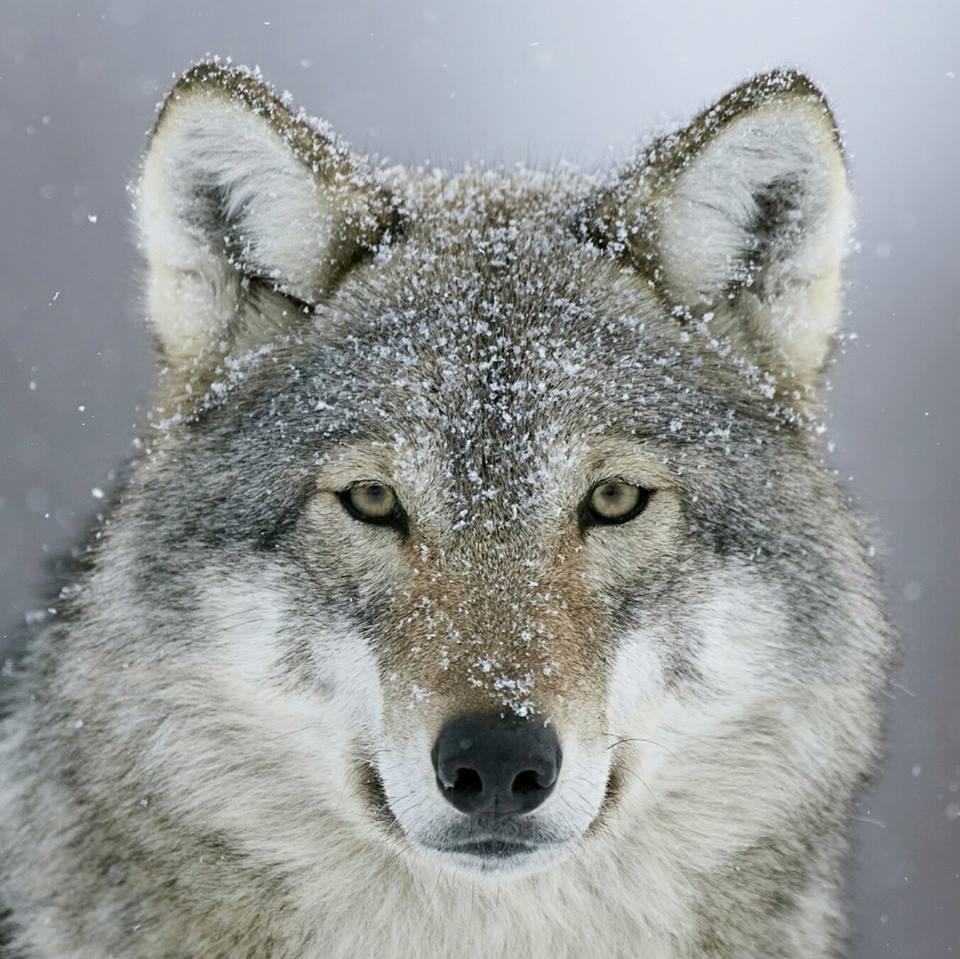 sad-wolf-ah
