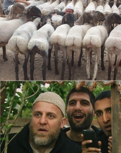 sheep-72-virgins