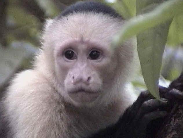 white-face-monkey
