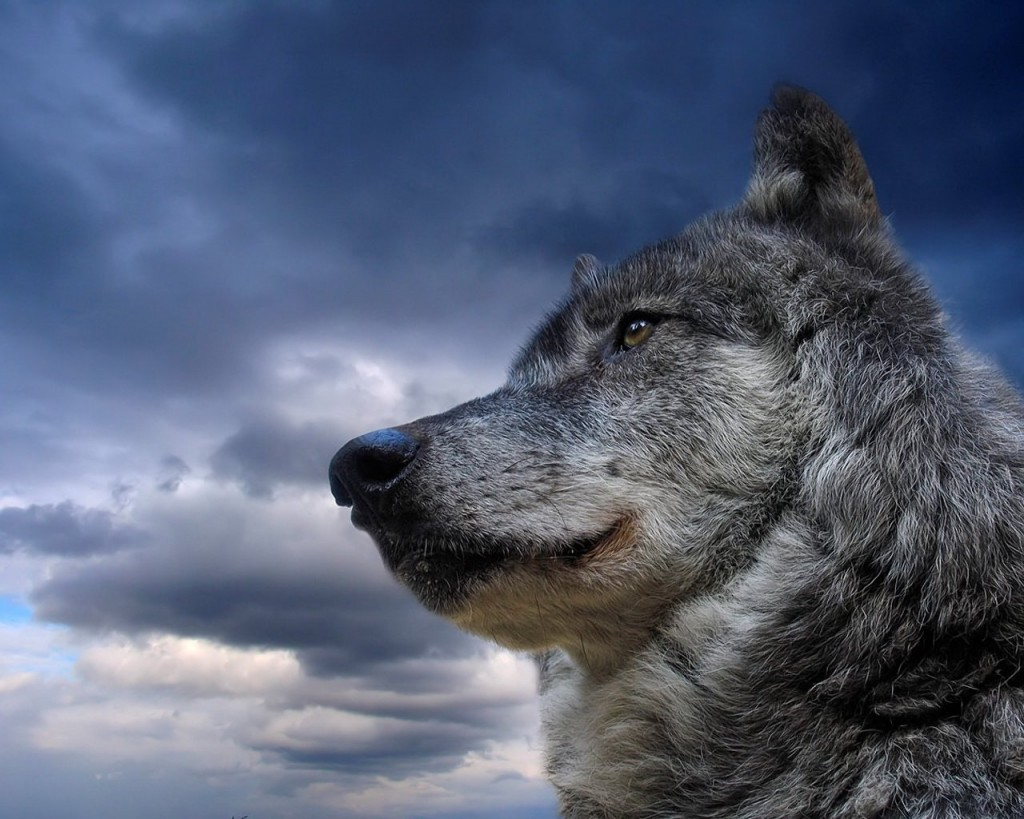 wolf-side-gazing-a-bit-skyward