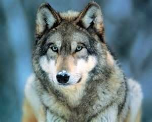 wolf-staring-ahead